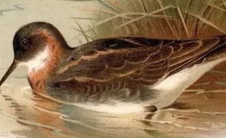 Плавунчик — Бианки В.В. Рассказ про мальчика и птичку кулика-плавунчика.