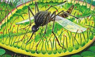 Росянка — комариная смерть — Бианки В.В. Сказка про храброго, но глупого комарика.