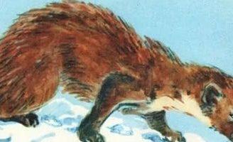 Маленькие рассказы: Голубой зверек — Бианки В.В. Рассказ о кунице.