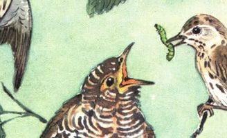Маленькие рассказы: Подкидыш — Бианки В.В. Автор покинул осиротевшее яйцо каменки в гнездо пеночки и она выкормила подкидыша.