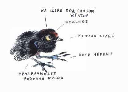 Птичье озеро - Чарушин Е.И.